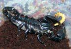scorpion bite