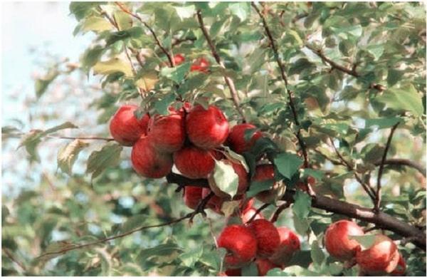Apple Cider Vinegar Pills